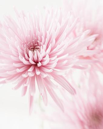 Jennifer Squires Chrysanthemum Photo